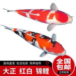 錦鯉活魚觀賞魚大型淡水冷水魚純種日本大正三色錦鯉魚活體招財魚