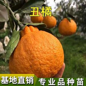丑橘苗丑桔树苗不知火柑橘春见丑八怪粑粑柑树苗椪柑苗橘子苗果树