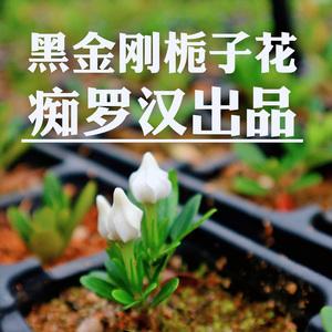 (癡羅漢)黑金剛梔子花 新品種清香形梔子花盆栽樹苗