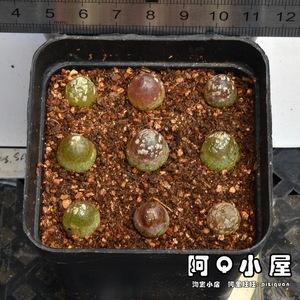 X00 肉锥花属 灯泡(SH409) 0.7-1.5cm 2年苗