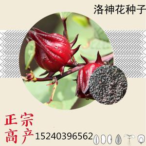 红桃k果种子