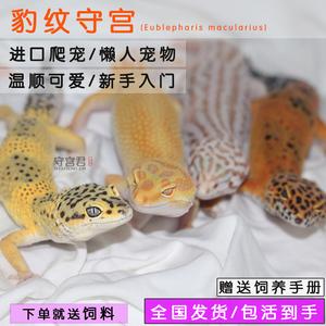 蜥蜴活物豹紋守宮新手入門懶人寵物易養異寵小型另類可愛溫順無毒