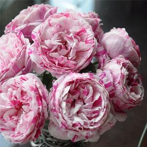 欧月 藤本月季攀援花卉爬墙植物抓破美人脸月季苗条纹月季流星雨