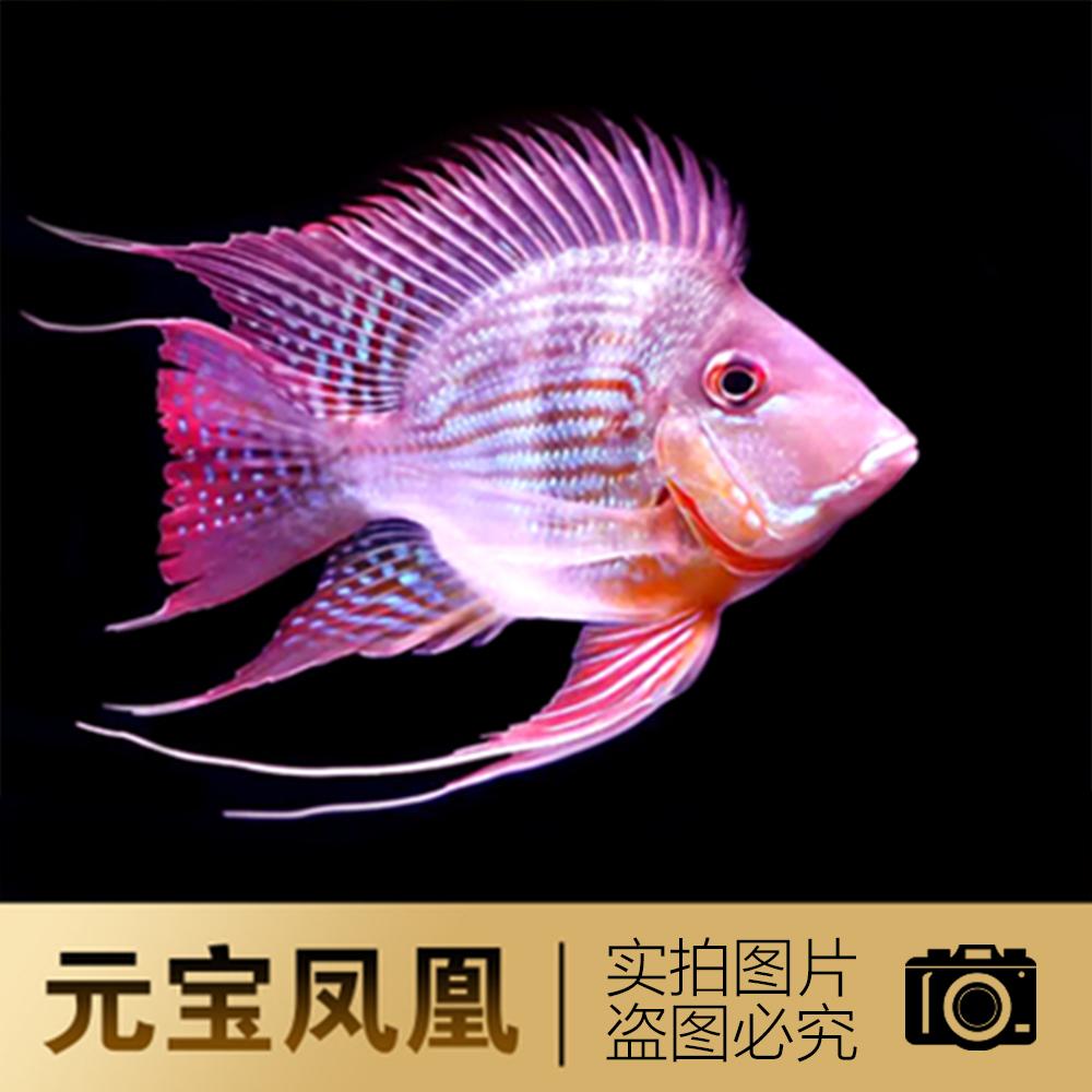 闲来无事拍张几片子 元宝凤凰鱼相关 元宝凤凰鱼第10张