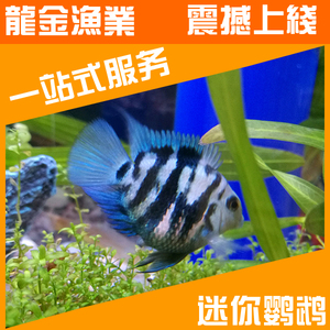 台湾新品蓝宝迷你宝蓝鹦鹉小型热带观赏鱼活体淡水鱼可养草?#35013;?#37038;