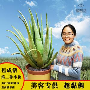 美容芦荟美容院灌肤专用库拉索芦荟可食用大盆栽美容植物绿植