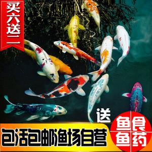 好看观赏鱼冷水小型贵鱼热带淡水锦鲤小耐低温好养幼苗蓝寿孔雀鱼