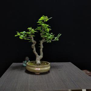 菩提树盆景小叶栀子花盆栽花卉办公室内盆栽果树净化空气绿植禅意