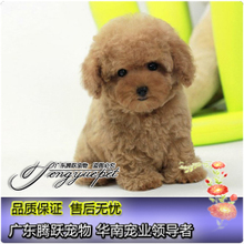Purebred puppies boutique VIP Teddy adorable pet dog white dog play specific sale has been done in vivo prevention
