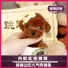 Jumping Villa Teddy Tea Cup Dog Teddy Dog Tea Cup Dog Live Pet Dog Puppies Shop Training