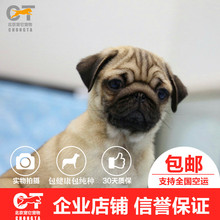 Healthy purebred pug puppy puppies living starling pet pug dog Pug in vivo