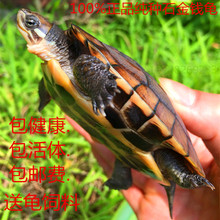 Purebred Southern Stone Turtle Seedling Pet Ornamental Turtle Yellow Throat Aquatic Turtle Viet Nam Stone Money Seedling Turtle Living