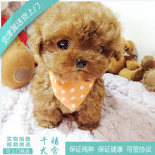 The Korean race class Tactic purebred puppies for sale brown red teacup VIP living pet dog shipping