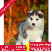 Beijing dog racing to sell black dog sled purebred husky puppy in vivo shipping field