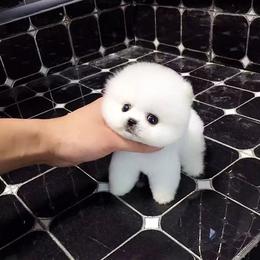 萌博美比熊萨摩耶金毛哈士奇阿拉斯加拉布拉多幼犬活体宠物狗狗
