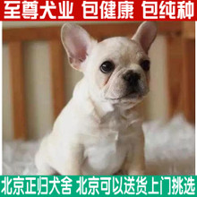 Purebred French Bulldog Puppies for sale season cream white pet dog fighting method in vivo transport packages