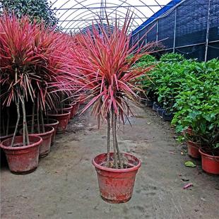 三色龙血树_室内盆栽 七彩铁 七彩铁红 三色龙血树 竹观叶植物吸甲醛苯防辐射