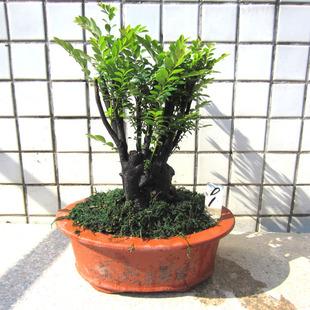 小叶紫檀盆栽 盆景 批发图片