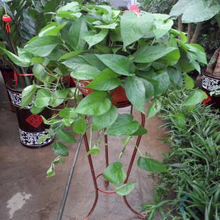 绿萝吊兰 新房装修吸毒高手长沙花卉绿植盆栽 垂挂植物大盆带铁架