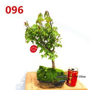 包邮 三角枫小盆景 小品盆栽 小型枫树造型盆景 三角枫树桩 实物