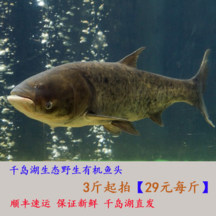 千岛湖有机鱼头野生鱼头新鲜水产胖头鱼大头鲢鱼鲜活鱼头有机鳙鱼