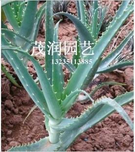 植物多肉价值芦荟龙爪高的木立盆栽药用菊2年生大棵原叶特硬干胶王图片
