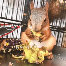 【 мышь против вы 】 забронировать сша Большой орешник sub green белка ранние нулю еда с зеленым кожа оригинал свежий Большой орешник сын