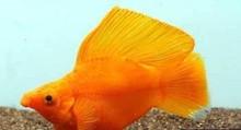 Тропические рыбы -- мэри рыба