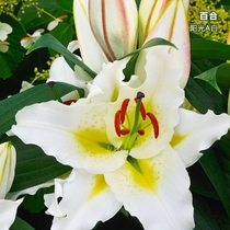 (spot) potted oriental Lily Holland imported lily ball dwarf perfume Lily fragrant flower Big Easy to raise