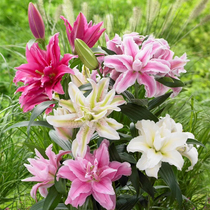 (spot) Double Lily seed ball Dutch import double lilies lily bulbs Perennial