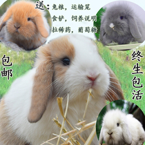 Pet rabbit Live purebred dwarf rabbit Dutch ear rabbit cat rabbit baby Fengyulian Sisch lifetime bag Life