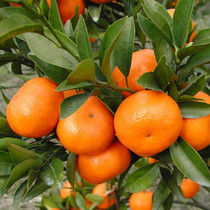 Simulation cadre greffage Orange semis pot plantation sucre orange Nord et sud plantation dagrumes kumquat semis Orange semis