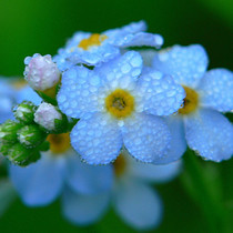 Forget-me-Not seeds blue forget-me-not ornamental flower-seed balcony desk potted plants easy to plant saplings