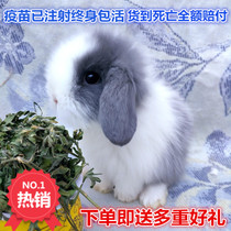 Pet rabbit live purebred Dutch short hair Lop rabbit water hyacinth Dodge cover Face Cat small body mini dwarf rabbit