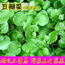 Cabbage seed watercress can be harvested continuously children in spring and summer season potted aquatic vegetables and wild vegetable seeds