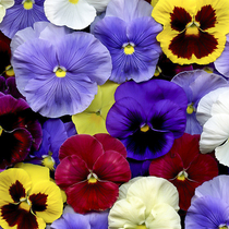 Pansy seed Four Seasons balcony potted flower seed spring Autumn Flower potted garden cat face butterflies