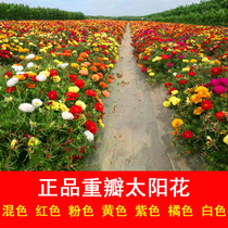 Sun flower seed double pine leaf peony grass flower seed easy live flowering continuous potted garden