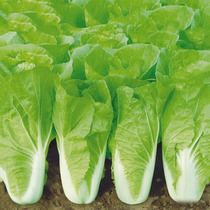 Fast growing fast food for 28 days rapid growth of cabbage green and cold season can sow high yield vegetable seeds