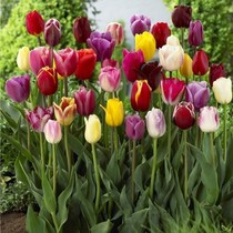 Dutch imported tulip bulbs lotus seed potted indoor flower garden desk soil culture water culture
