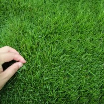 Taiwan Green High sheep thatched grass seeds lawn seed Garden Villa anti-trampling Four Seasons Green dog root slope grass seed