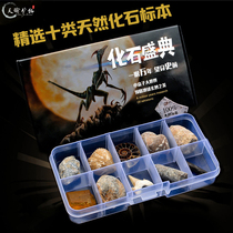 Natural paleontological fossils specimen box insect conch trilobite marine flora and fauna ammonite science teaching