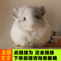 Chinchillas live their own breeding pet Chinchillas marked gray silver baby has a physical store Chinchillas small cub video