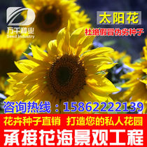 Low rod long ornamental sunflower flower seeds Four Seasons seeding garden flower sea landscape flowering plants