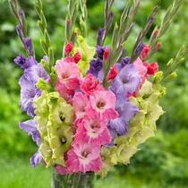 Gladiolus seed Ball Holland imported gladiolus flower ball flowering courtyard balcony perennial bulbs
