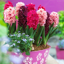 (spot) Hyacinth seed Ball Holland import big ball with bud delivery water earth bacon perennial bulb flowers