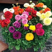 Flower Mau Gangen Bulbs flower plants potted spring summer Huagenpos buttercup plant parsley Leaf peony
