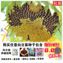 Sunflower seeds with high yield and large grain edible sunflower-oil sunflower balcony low potted ornamental sunflower seed