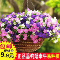 A potted plant for the seeds of a cold and easy to sprout flower in the Four seasons of Petunia seed