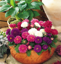 Aster seed mixed color double balcony outdoor potted ornamental flower seeds spring summer flowers flower seeds