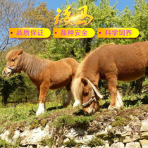 Shetland Dwarf Horse Live Horse Scenic Area Watch Pet Horse Small Children Ride Horse Dwarf Horse Pony